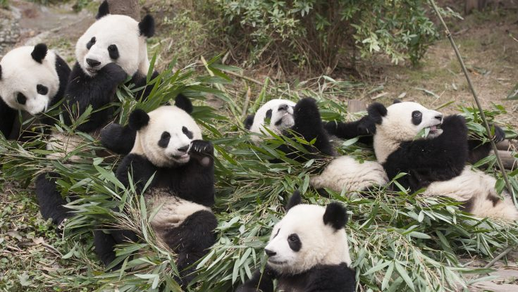 Noted Animal Documentarian Returns with 'Pandas'